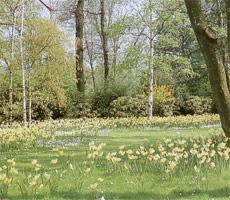 Los narcisos son bulbos que crecen de forma silvestre