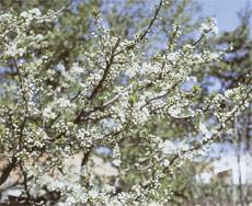 Prunus en flor